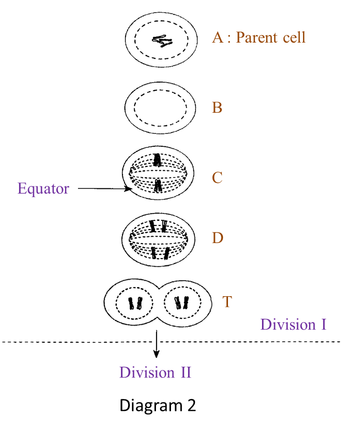 cell division  structured questions